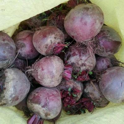 新鲜甜菜根 新鲜甜菜头,紫菜头,新鲜红甜菜头5斤装