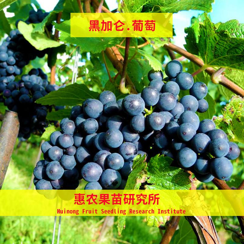 黑加仑葡萄苗大苗果苗果树嫁接苗果树苗当年结果葡萄树苖南方种植