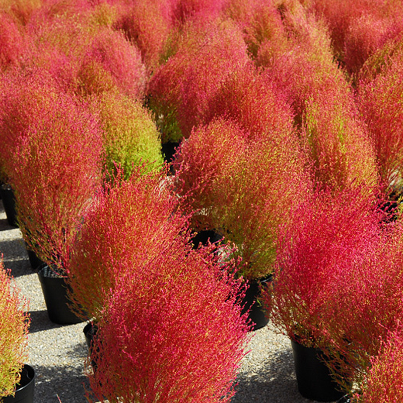 Peafowl pine red leaf Kochia seed broom wheat color ground by red skin green sunflower seed garden potted