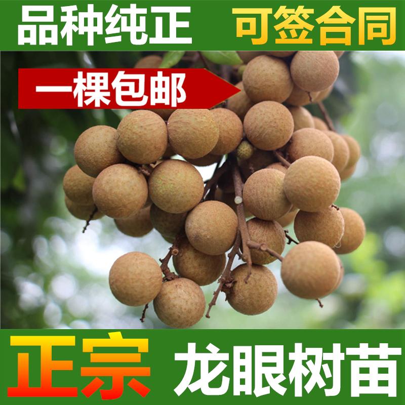 Longan tree seedlings: a package post authentic grafting longan tree seedlings in chuliangshixia