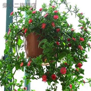 吊兰盆栽包邮四季垂吊吸甲醛牡丹花
