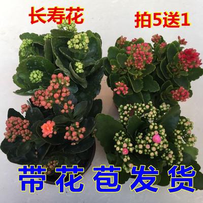 长寿花盆栽重瓣大花苗带花苞新品种花卉观花植物室内绿植四季开花