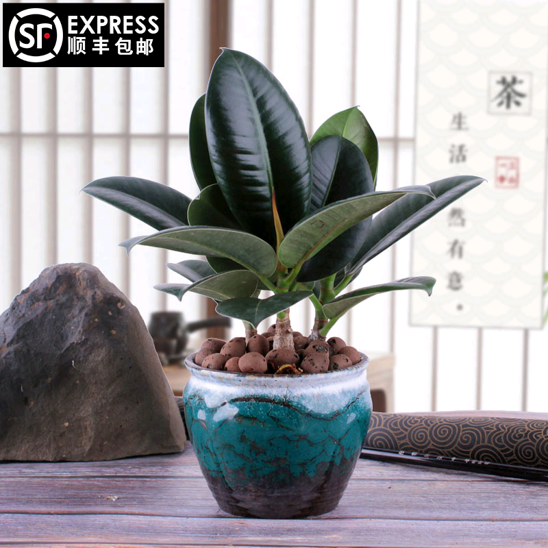 Rubber tree green diamond black four seasons evergreen small potted plants green flowers movie director number show others