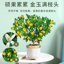 四季金桔树苗盆栽小橘子客厅植物室内花卉绿植庭院盆景好养活