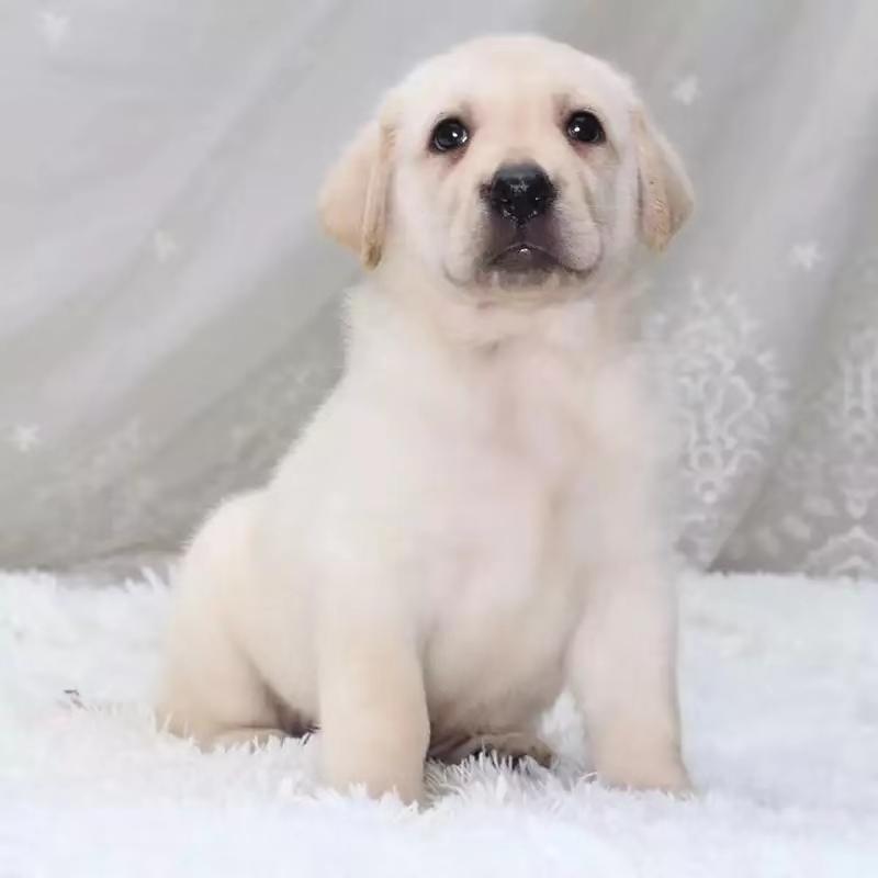 纯种拉布拉多幼犬导盲犬神犬小七活体大骨架金毛幼犬宠物狗活幼体图片