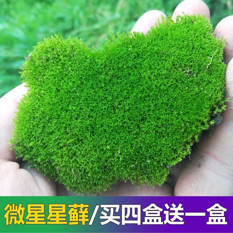 假山専用の店面の小さい灰色の苔の生きている苔の小さい景観diyアイデアのミニ植物の苔の盆栽