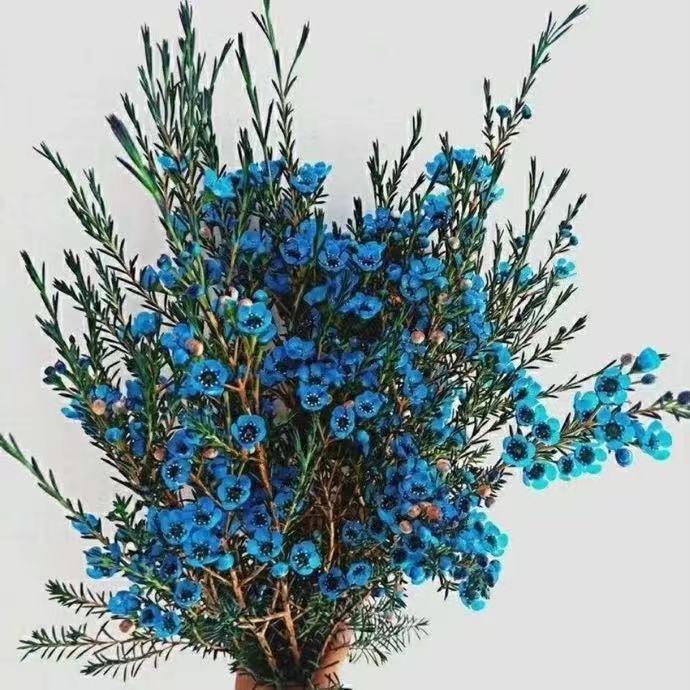 澳洲腊梅鲜花 梅花 真花泡水开花枝条平头鲜切花卉