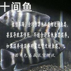 十间鱼 非洲凶猛鱼 十间鲷科鱼活体热带观赏鱼龙鱼配鱼淡水宠物鱼