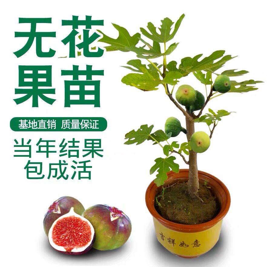 庭院四季当年结果日本地栽无花果苗