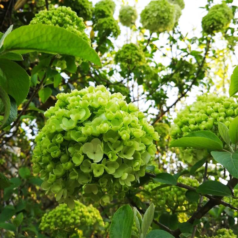 中华木本绣球花苗盆栽白色大花绣球马球琼花卉绿植室内外庭院