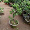 室内罗汉松盆栽微型盆栽雀舌罗汉松小叶绿植花卉办公室