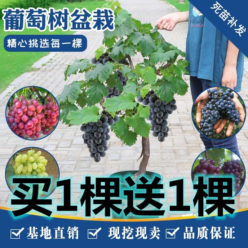 1つを買って1つのブドウの苗木をプレゼントします。サファイアの果樹園は南と南の方に秋に庭を植えます。