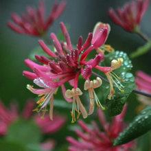 金银花苗 当年开花 爬藤金银花 金银花盆栽 金银花树桩 南北种植