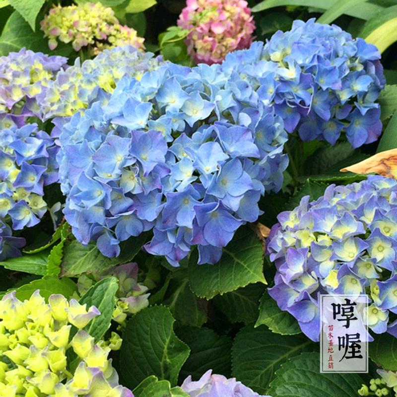紫陽花の苗は青いです。母は夏に限りなく鉢植えをしています。