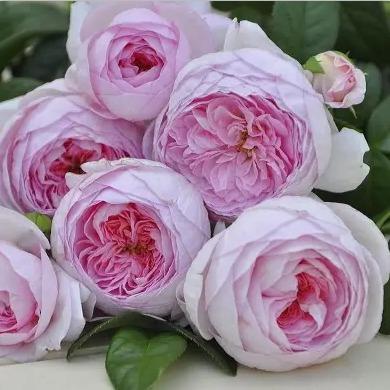 Rose seedlings my heart four seasons fragrant and flowery steamed stuffed bun type does not droop head, flowering period is super long, good-looking, novice easy to raise