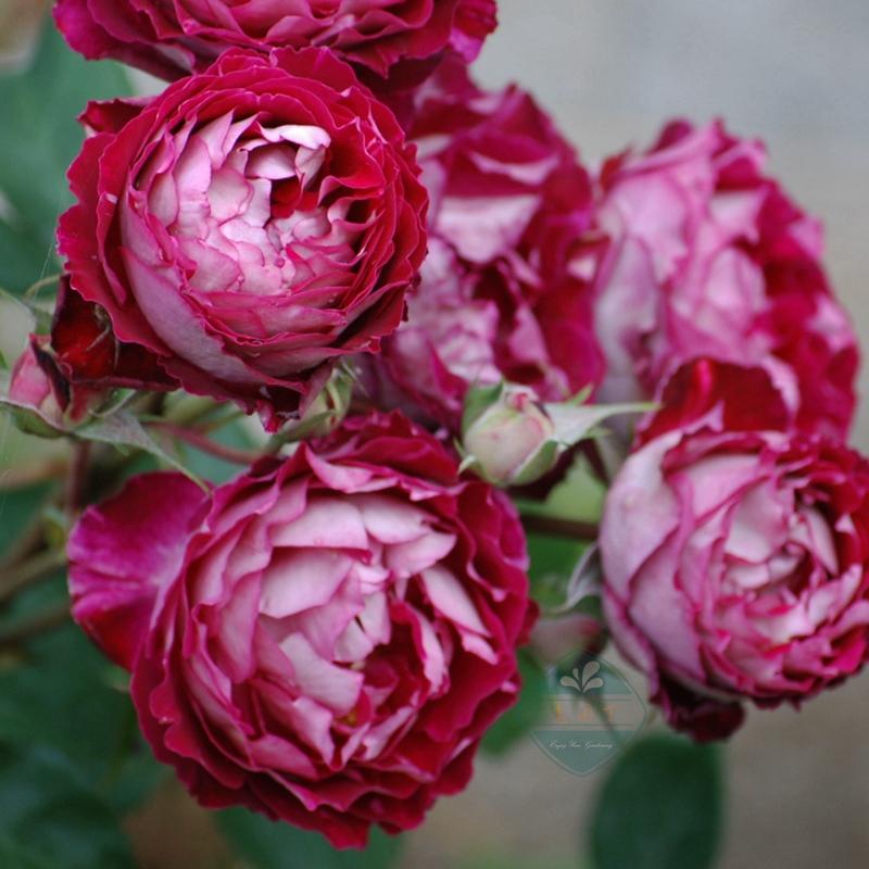 Rose seedlings, Dr. Massad four seasons open fragrant flowers, garden balcony flowers and plants, good rose pot.