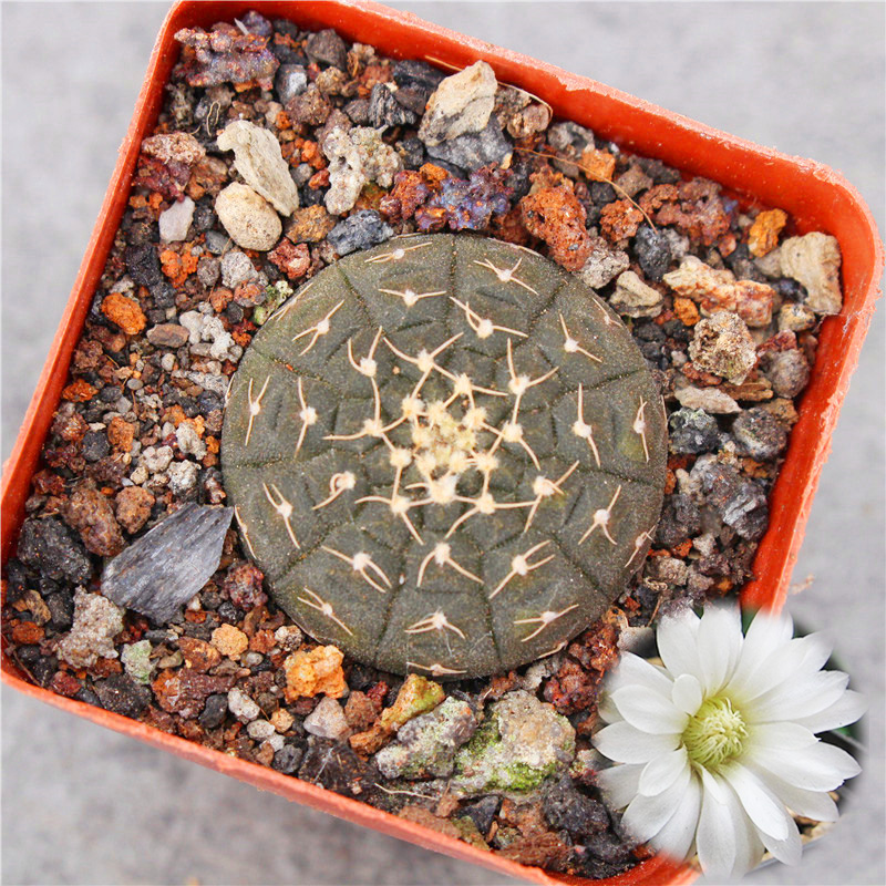 Lagan cactus seeded black Luohan pill naked calyx is a succulent plant, small pot flowering, no hand flesh