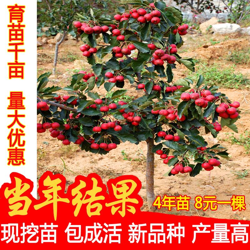 山楂树北方南方种植山楂苗盆栽活苗