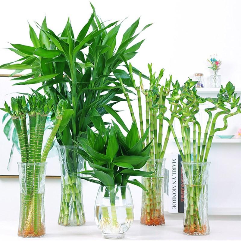 富贵竹水养水培植物转运竹室内绿植花卉客厅办公室观音竹盆栽植67