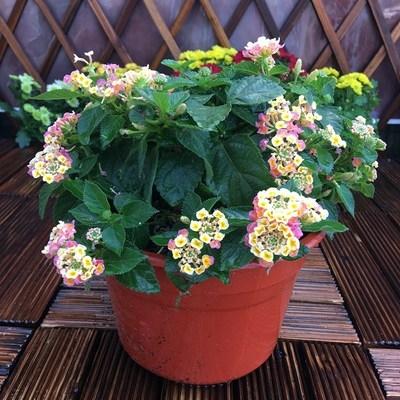 五色梅盆栽阳台庭院露天花卉多年生四季开花五彩绣球绿植耐热。。