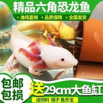 好养活自养小火龙好看家养鱼六角蝾螈景观鱼冷水鱼小恐龙鱼耐活鱼