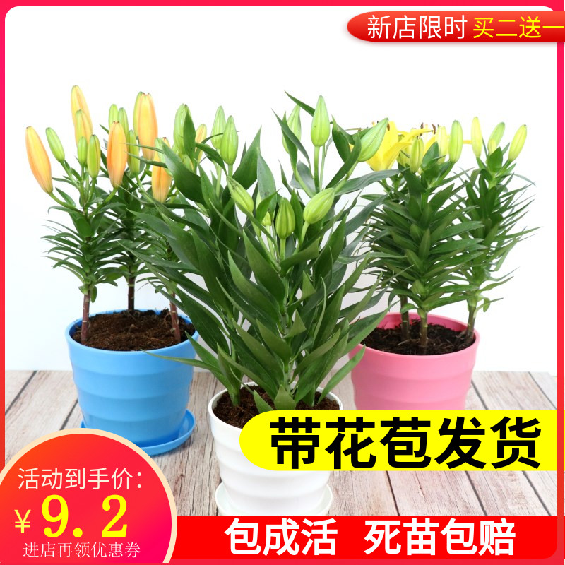 Perfume flowerpots with flower buds, shipping seasons, Asian flowers, indoor flowers, many heads, water plants.