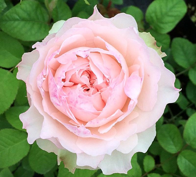 浓香月季花大花卉苗灌木月玫瑰佩尔盆栽克植朱大绿欧