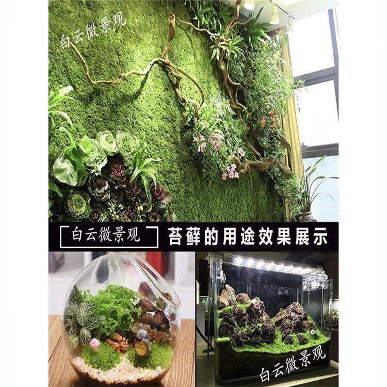 鲜活diy迷你白发造藓微景青苔景观苔藓植物植物假山铺面创意