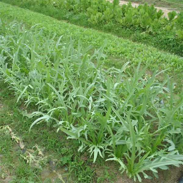 苦麦菜种子野生老品种山苦苣种籽花籽 野草野菜麻菜鹅菜牧草荒坡