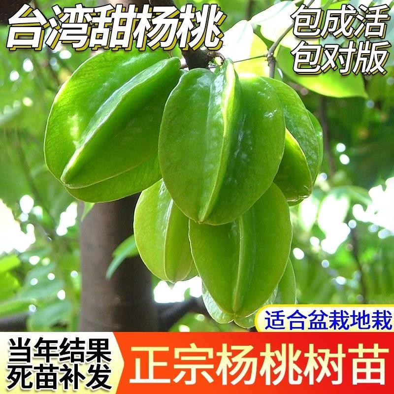 台湾甜杨桃嫁接树苗庭院植物 行道树木 嫁接果树苗 杨桃当年结果