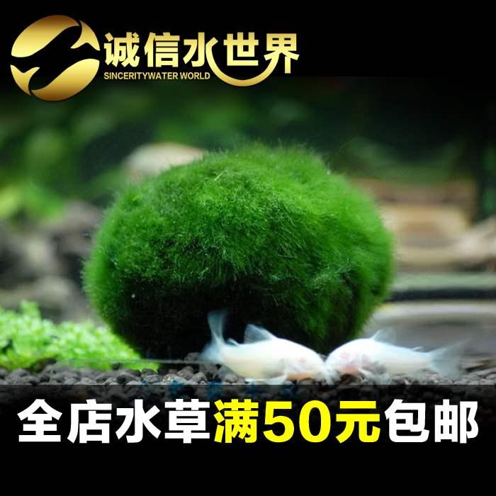 绿藻球水晶虾缸水草热带鱼缸草缸绿毛球藻类植物养虾裸缸水草