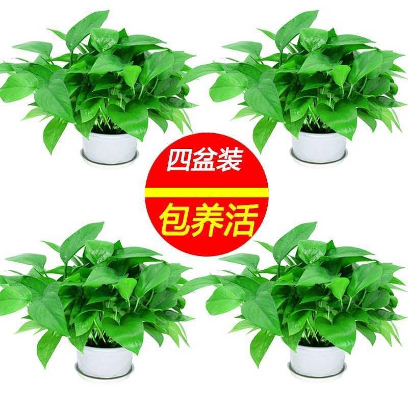 甲植物绿吸大除甲醛萝盆栽空气办公净化大型萝花卉绿植物新房室。
