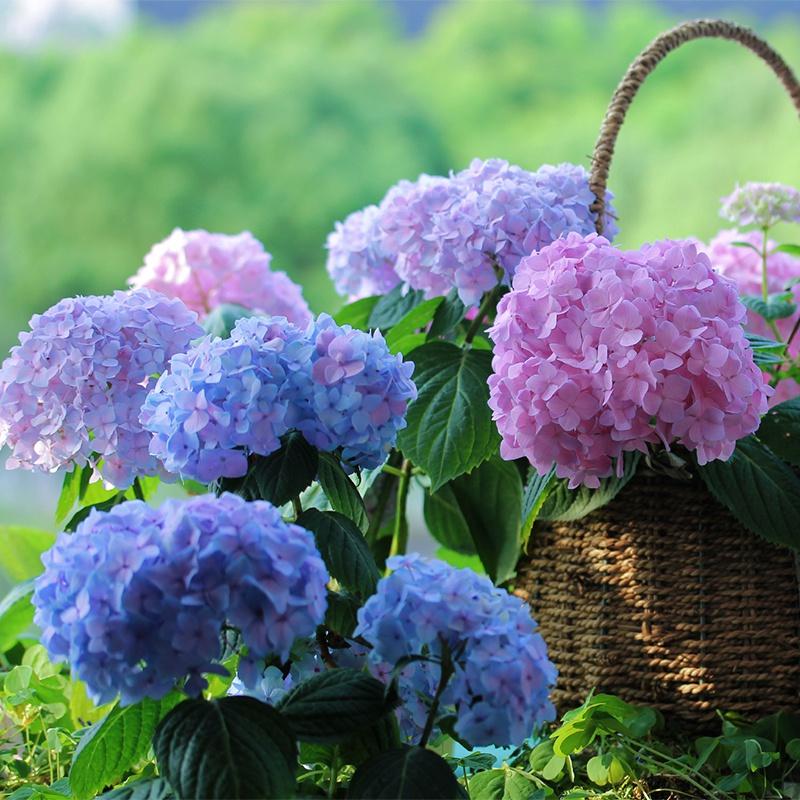 绣球花苗植物无尽夏好养的花四季开花不断盆栽花卉植物室内易养活
