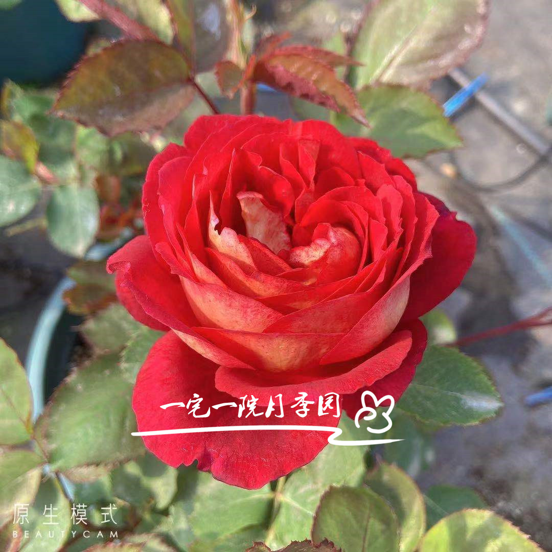 Dr. Ouyue Massad, French big flower strong strawberry fragrance two color rose seedlings, balcony potted doctor.