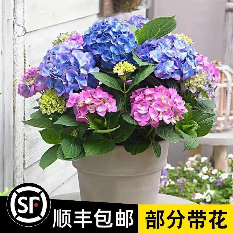 新品绣球花苗盆栽老桩室内阳台庭院植物四季特大花卉无尽夏八仙花