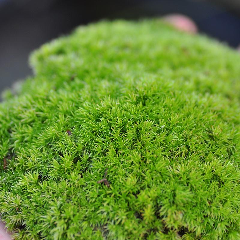 苔藓鲜活青苔白发藓蕨类植物水苔微景观盆景盆栽铺面装饰耐阴造。