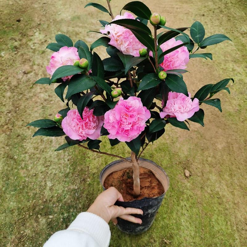 烈香茶花盆栽好养的山茶花苗绿植阳台室内客厅大型原生植物带香。