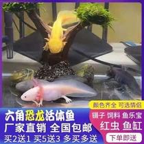 六角恐龙鱼蝾螈活体淡水宠物冷水鱼耐活家养非锦鲤水族爬行宠物鱼