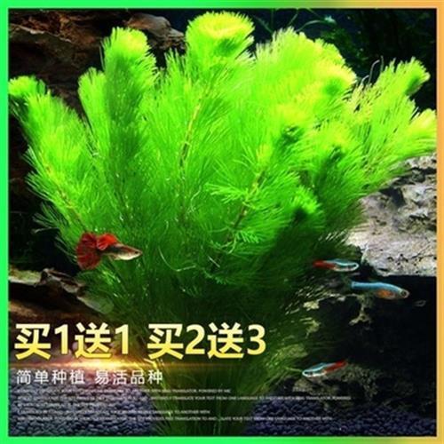 冷水水草水族馆水藻观赏水族箱鱼缸新手池沉龟藻类木大号成品鱼池