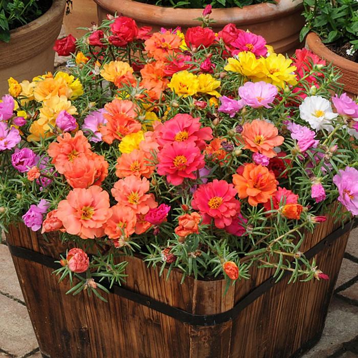 重瓣太阳花苗盆栽混色四季开花不断松叶牡丹植物阳台庭院绿植花。