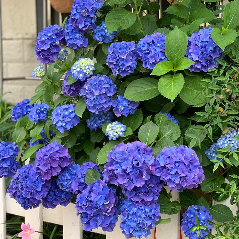 大花绣球花苗盆栽室内好养的花四季开花不断无尽夏易成活花卉植。