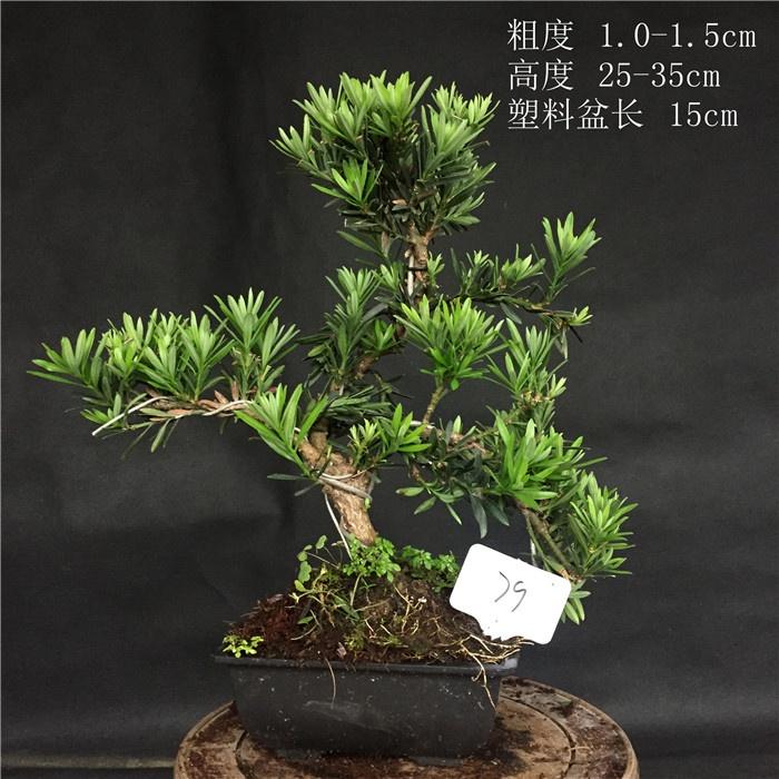 舌盆栽罗汉松四季松办公植松小叶江浙罗汉原生绿小品雀罗汉盆景。