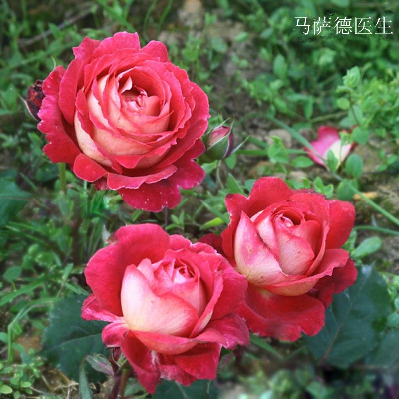 New European month Massad rose French big flower strong fragrance strawberry two color doctor seedling rose balcony potted