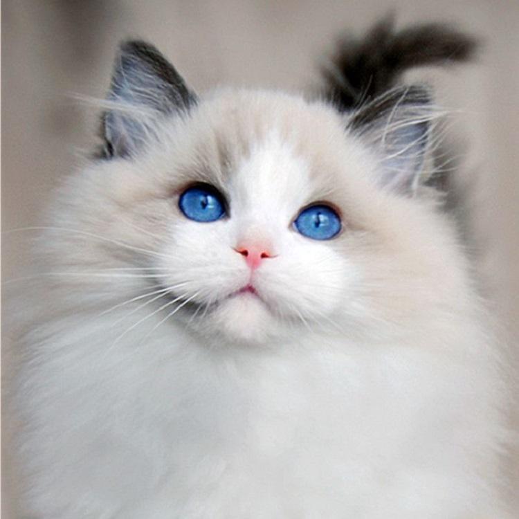 宠物猫咪海双布偶猫满耳满背仙女猫布偶幼猫活体蓝双布偶猫幼崽图片