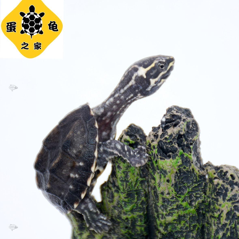 蛋龟之家外塘观赏龟麝香龟苗乌龟动物活泼爬行宠物