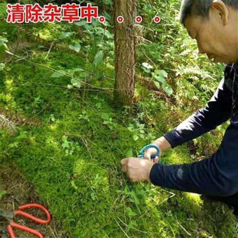 现采苔藓鲜活青苔 铺n面苔藓 微型A植物盆栽 假山微景观diy植物盆