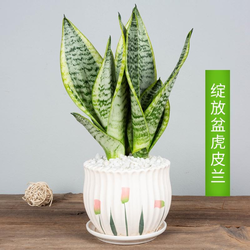 盆栽兰新金边植物吸内空气净化甲醛虎尾兰房室花卉K卧室除。虎皮
