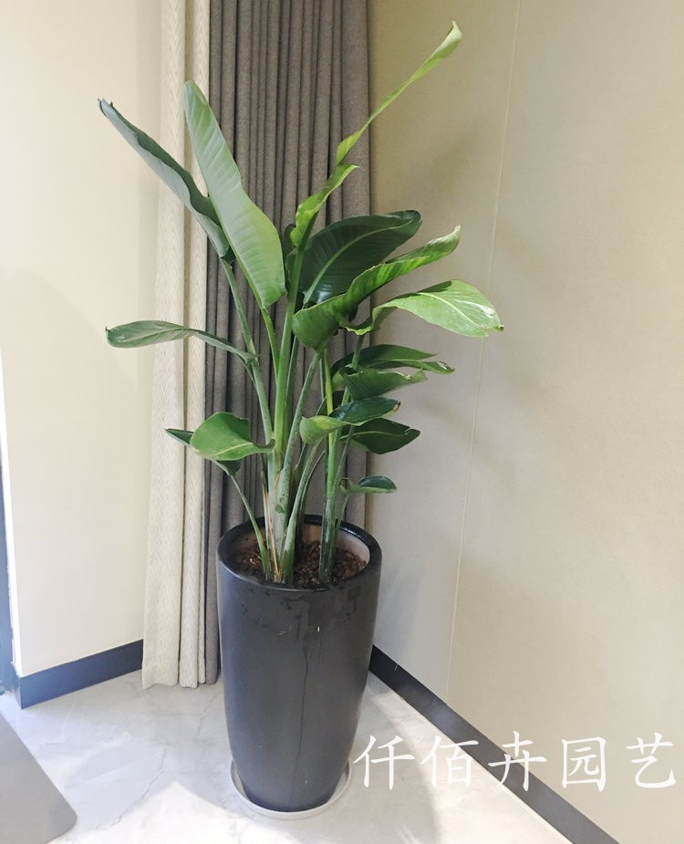 Living room radiation green sky y hall Xiamen green formaldehyde bird plant suction potted plant sales office plant prevention new room