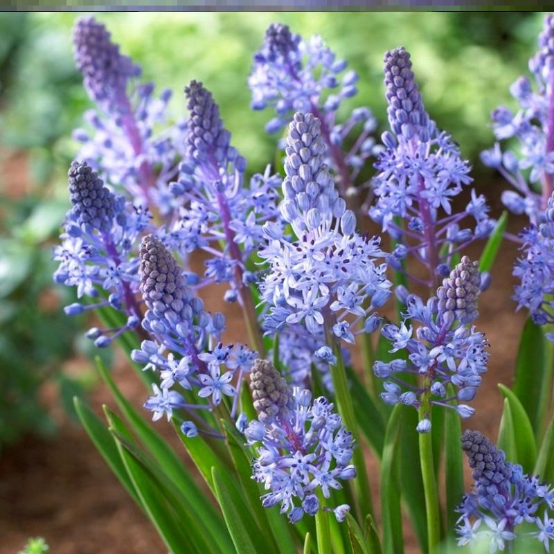 ダルマティヤの綿ナツメの鉢植えの花のベランダの庭の球根の植物は花の量を養いやすいです。