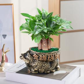 发财树盆栽植物室内客厅绿植小盆景四季常青办公室招财小盆栽花卉